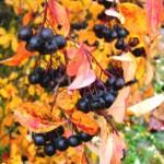 Aronia-noir-une-petite-baie-méconnue