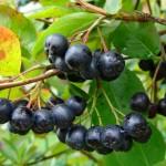 aronia-vente-plantes-2